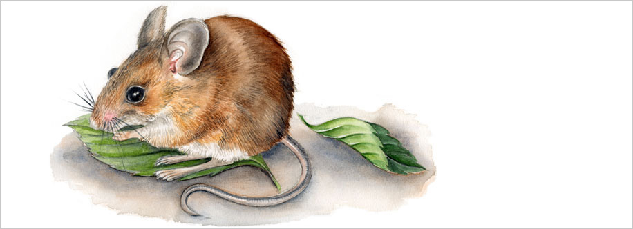 Slider Image – Field Mouse